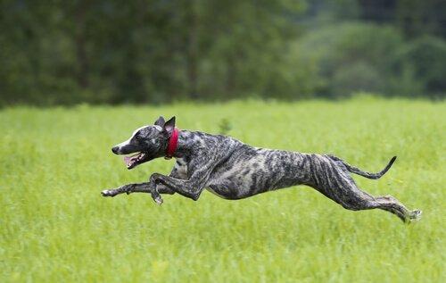 koşan tazı köpeği