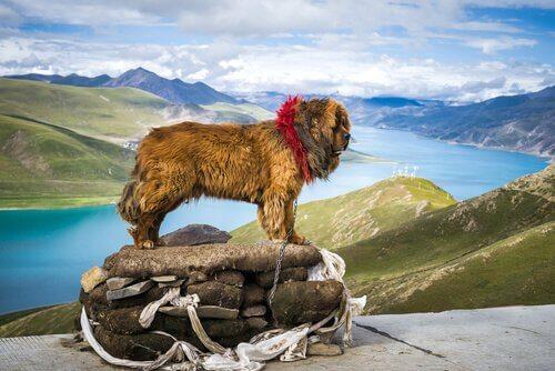 en büyük köpek ırkları ve tibet mastifi