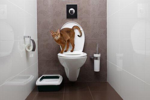 tuvalette çiş yapan kedi