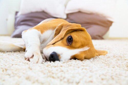 Köpeklerde İdrar Yolları Enfeksiyonunu Önlemek
