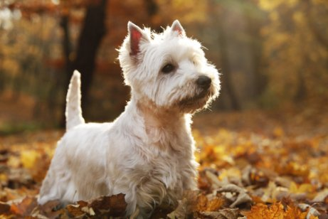 sonbaharda west highland white terrier