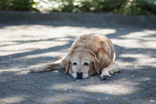 sokakta yatan yaşlı köpek