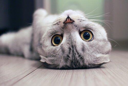 sırt üstü yatan kedi