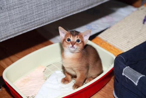 yavru kedi çiş eğitimi