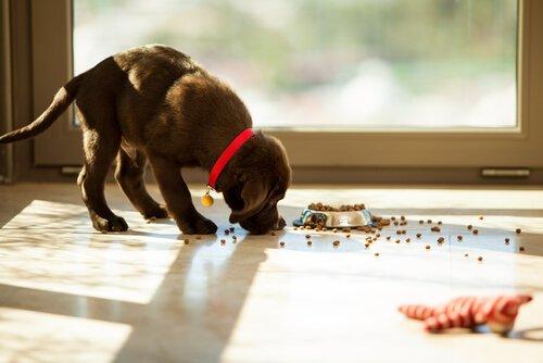 Köpeğinizin Yeme Takıntısını Nasıl Durdurabilirsiniz?