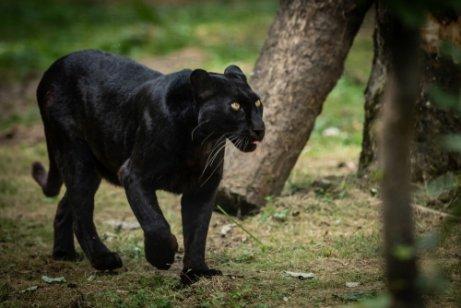yürüyen siyah leopar