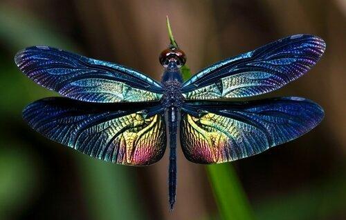 Yusufçuk: Bu Büyük Kanatlı Böcek Hakkında Her Şey