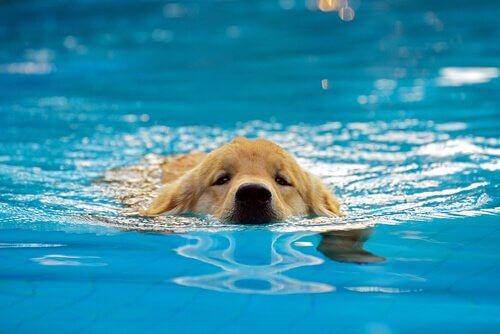 Yüzme Havuzunda Yavru Köpekler: Bu İyi Bir Fikir Mi?
