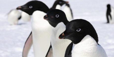kutuplarda penguenler