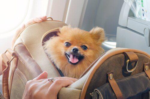 çantanın içindeki chihuahua