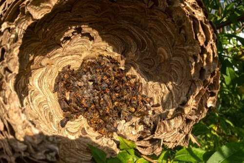 Japon eşek arısının yuvası
