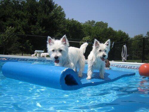havuzun ortasındaki iki köpek