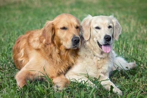 Köpeğinizi Doğru Çiftleştirmek Hakkında Her Şey
