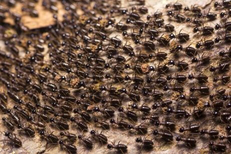 karınca ordusu