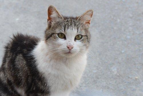 Kedilerin Enfeksiyöz Peritonitisi Ölümcül Olabilir!