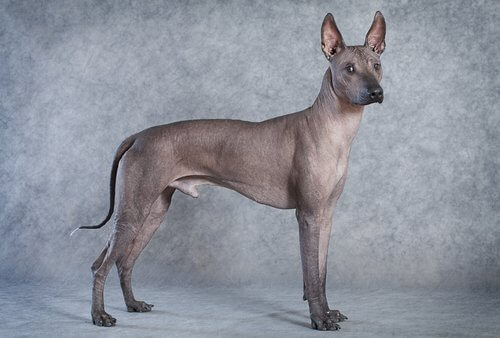 Frida Kahlo'nun köpeği