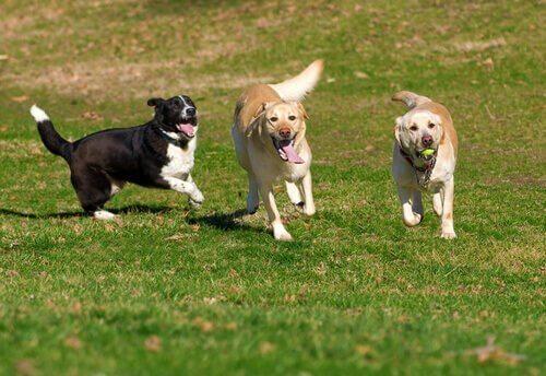 çimlerde koşan köpekler