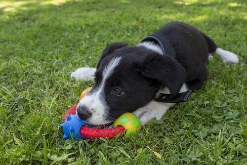 oyuncağı olan yavru köpek