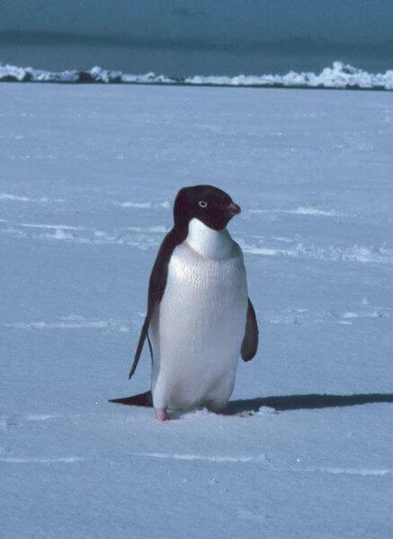 buzların üstünde bir penguen