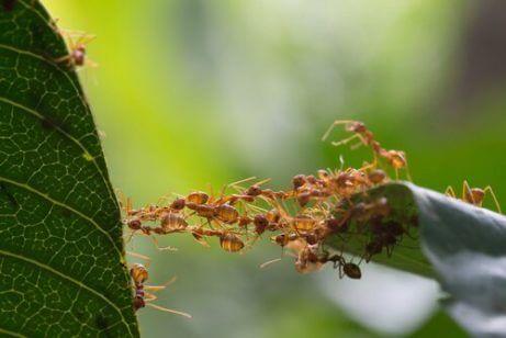 köprü kurmuş karıncalar