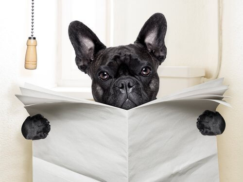 tuvalette oturan french bulldog