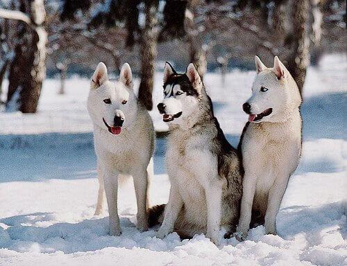 karlar arasındaki üç köpek