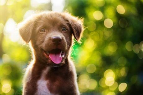 dili dışarıda kahverengi köpek