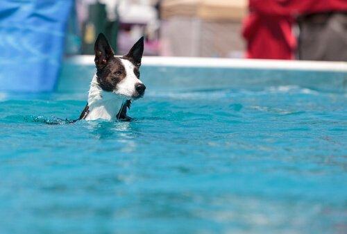 havuzda yüzen köpek