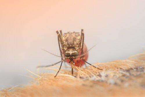 köpeği ısıran sivrisinek