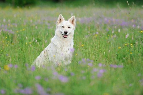Berger Blanc Suisse: Güzel ve Akıllı Çoban Köpeği
