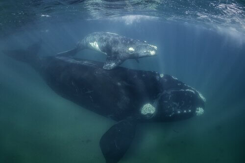 yüzen iki balina ve balina fosilleri
