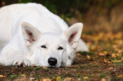 İsviçre beyaz çoban köpeği