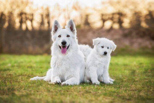 beyaz çoban köpekleri