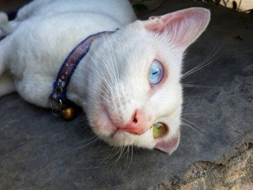 bir gözü yeşil bir gözü mavi olan beyaz kedi ve egzotik kedi türleri