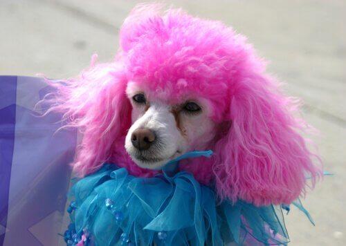 tüyleri pembeye boyanmış köpek