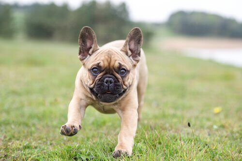 sivri kulaklı minik bulldog
