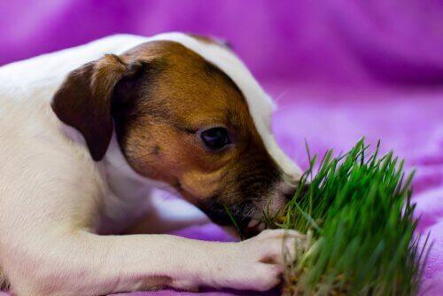 çim yiyen köpek