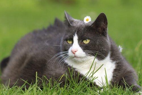 çimde yetişkin bir kedi yatmış