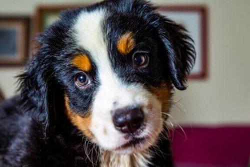 İspanyol çoban köpeği