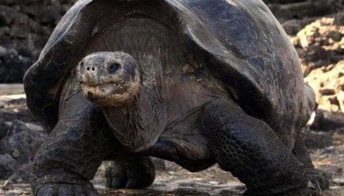 dev koyu renk kaplumbağa ve kaplumbağaların yaşı