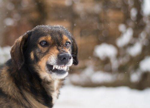 dişlerini gösteren köpek