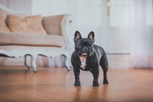 evde bulldog köpeği