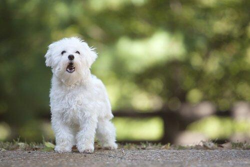 havlayan beyaz köpek