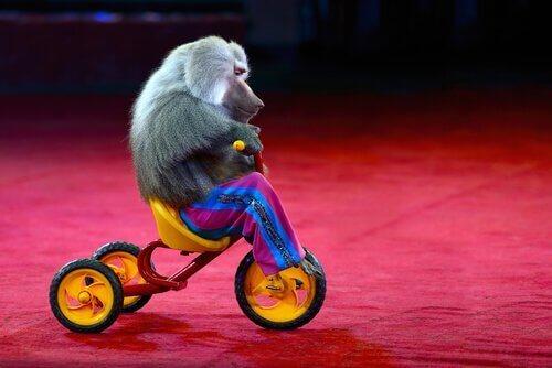 Hayvanlara Eziyet: İnsan Kıyafeti Giydirilmiş Bir Maymun Komik Değildir