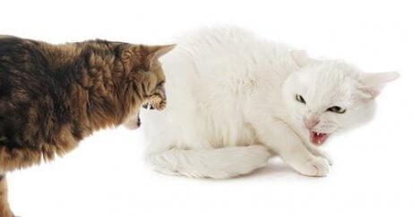 kavga eden sinirli iki kedi