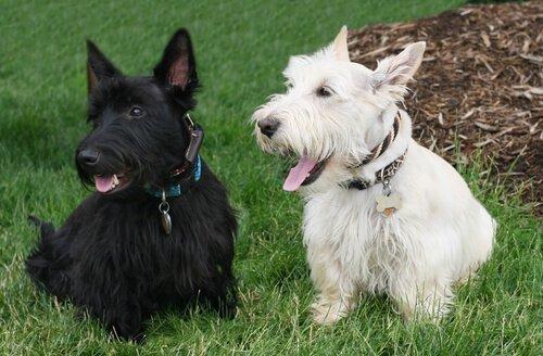 bahçede iskoç terrierler