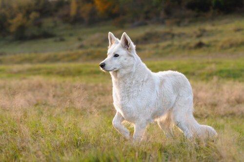 İsviçre çoban köpeği Berger Blanc Suisse