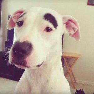 kalın kaşlı köpek