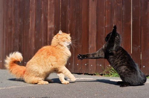 siyah ve sarı kedi kavga ediyor