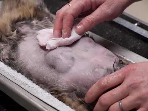 Kedilerde En Çok Görülen Kanser Türleri